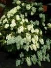 ピラミッド紫陽花(水無月)