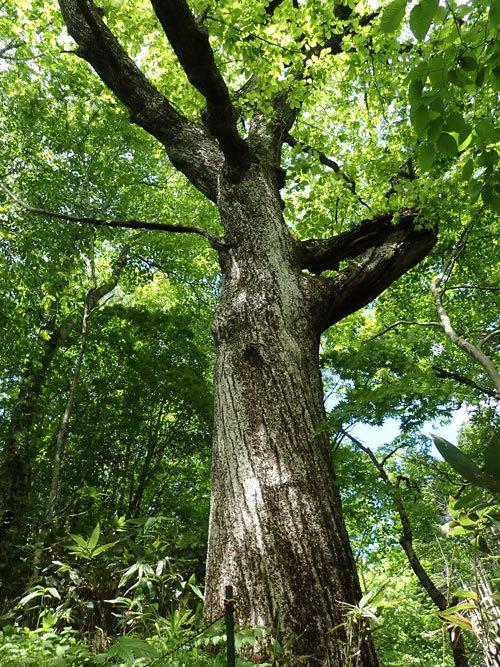 P6030050ミズナラ巨木w