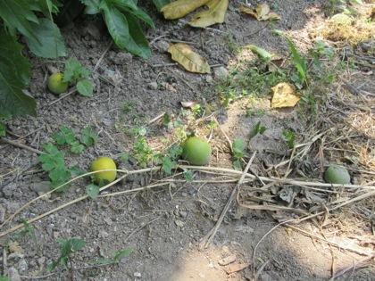 地面に落ちた梅の実