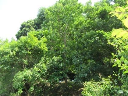 虫吉の森の木々の様子です。