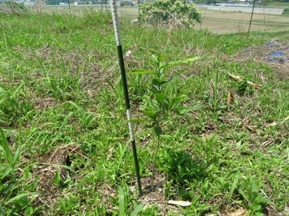 今年、植樹したクヌギの苗