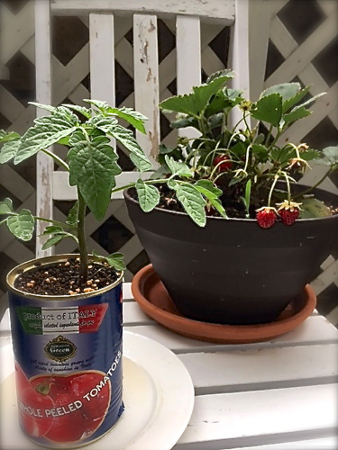 tomato170524-1