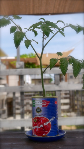 tomato170613-2