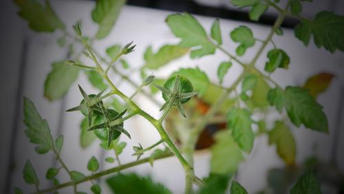 tomato170627-2