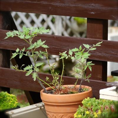tomato70628-2