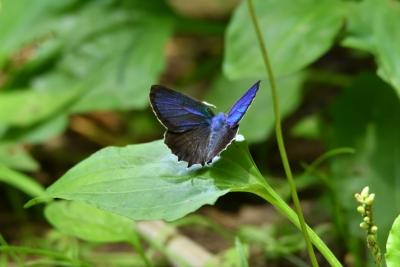 D500 舞岡蝶々 023 ミドリシジミ♂