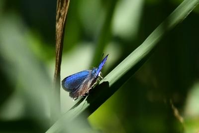 D500 舞岡蝶々 076 ミドリシジミ♂