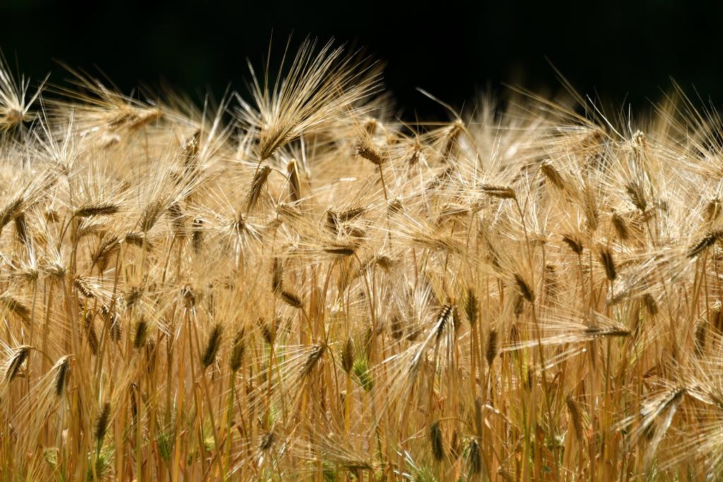 D500 舞岡蝶々 005 六条大麦
