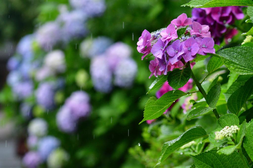 D500 雨と紫陽花 007