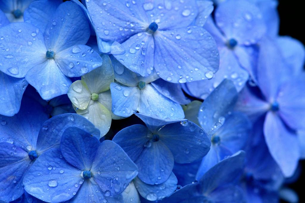 D500 雨と紫陽花 026