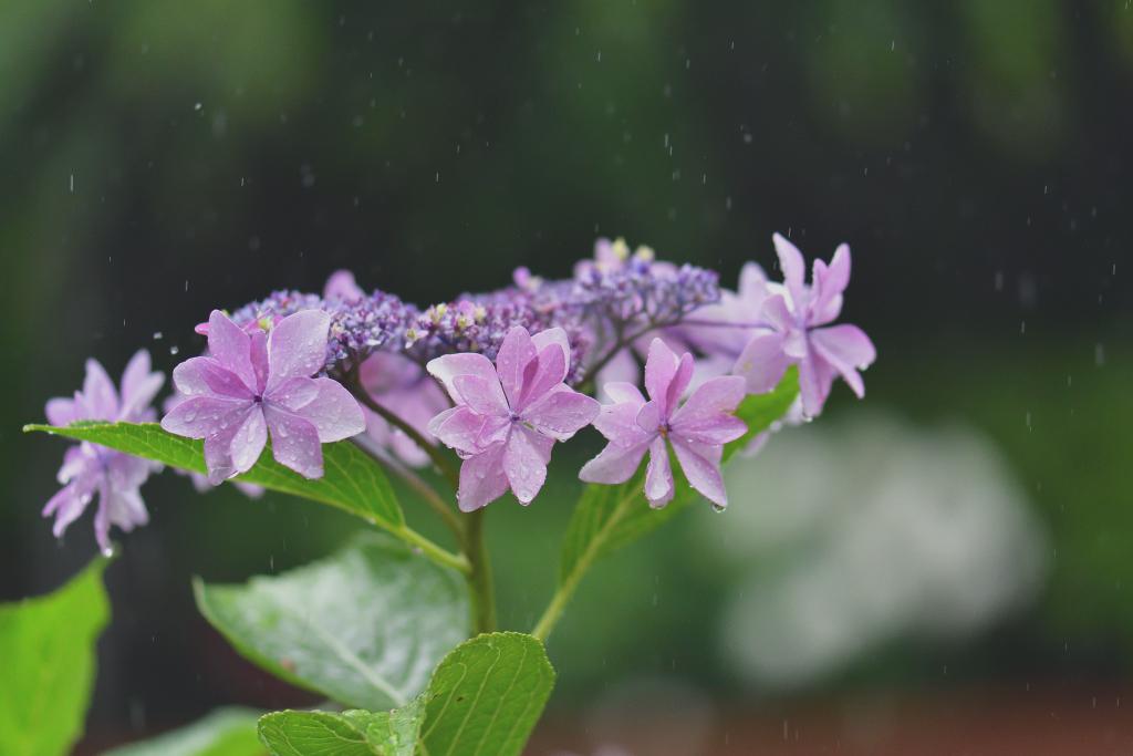 D500 雨と紫陽花 036