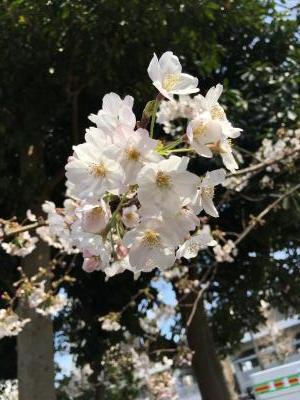 2017.4.5さくら5