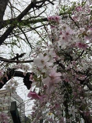 2017.4.8築地桜