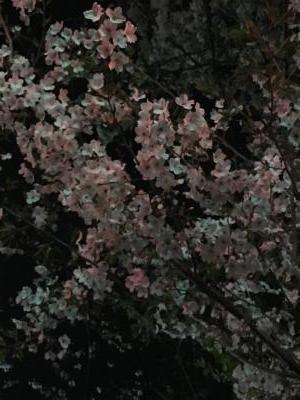 2017.4.10夜桜1
