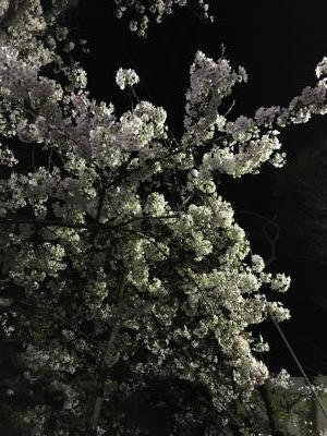 2017.4.10夜桜3