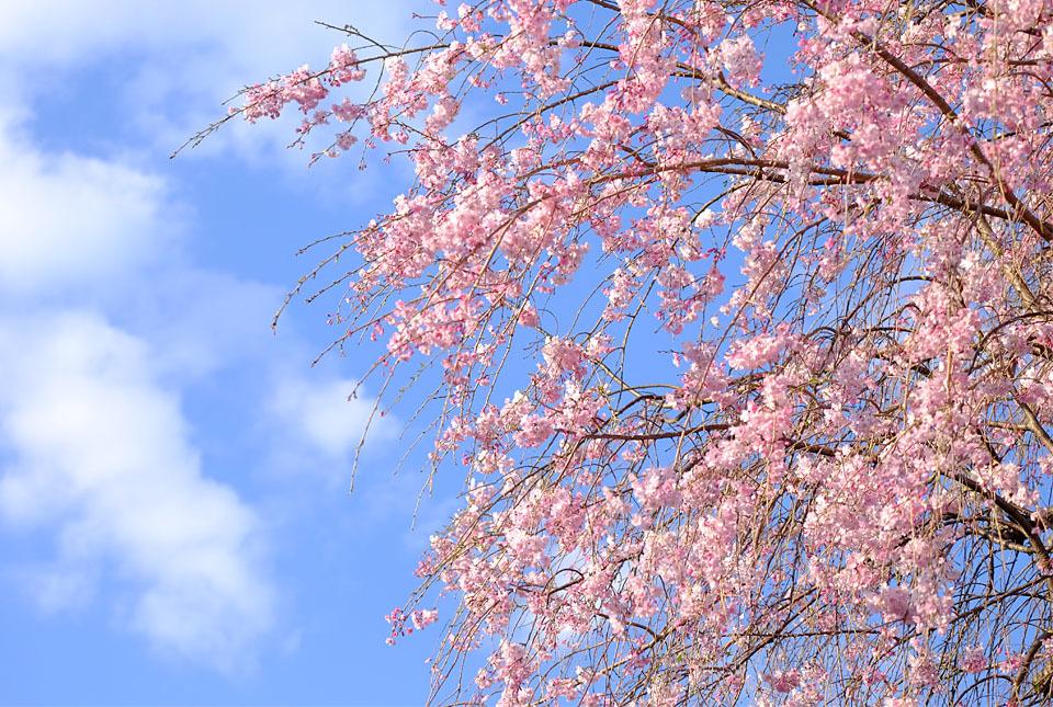 8532 緑道の枝垂れ桜 960×645