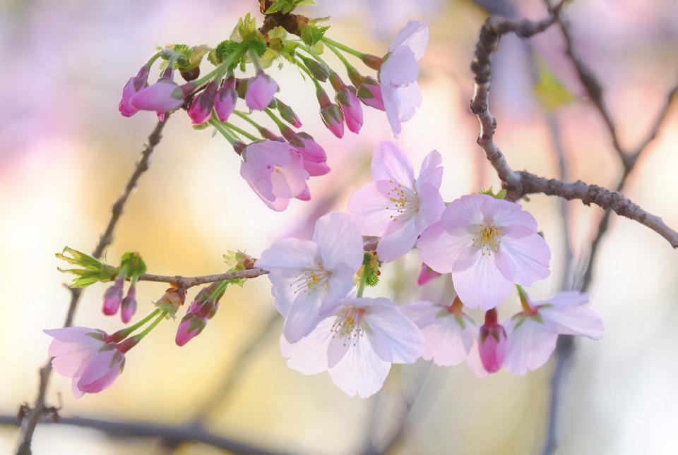 8624 緑道の桜 960×645