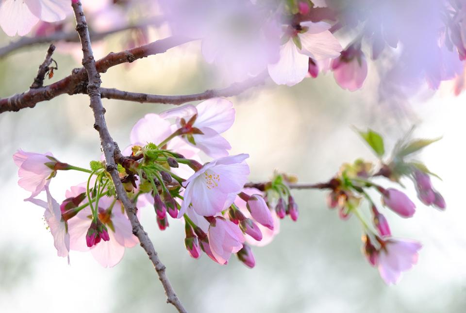 8625 緑道の桜 960×645