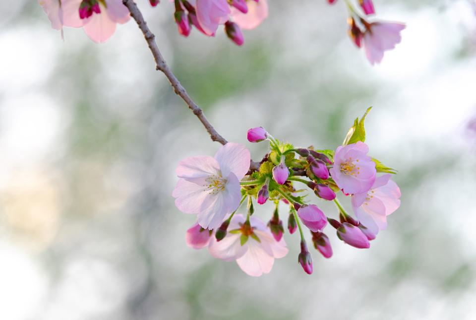 8633 緑道の桜 960×645