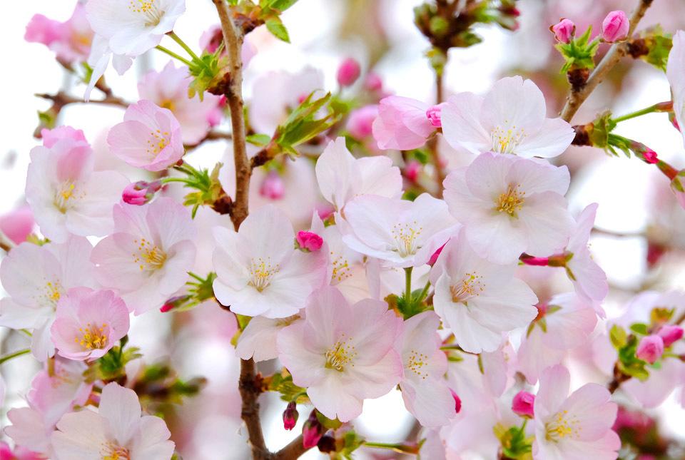 8618 緑道の桜 960×645