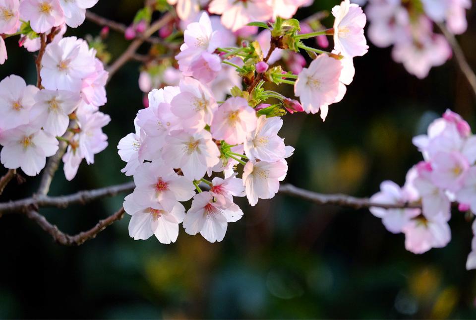 8610 緑道の桜 960×645