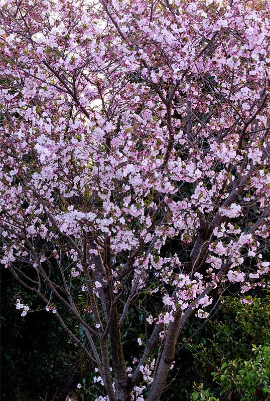 8681 緑道の桜 538×800