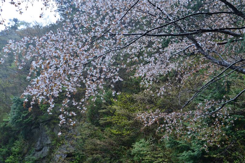 「新緑と山桜2」   (徳島県上勝町)