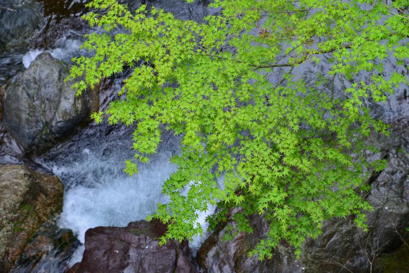 「新緑の渓谷1」   (徳島県上勝町殿川内渓谷)