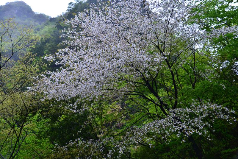 「新緑と山桜1」   (徳島県那賀町)