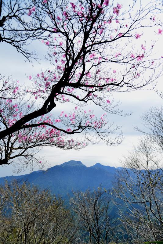 「アケボノツツジ咲く山嶺(瓶ヶ森)4」