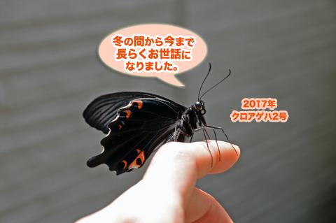 kuroageha2_050617