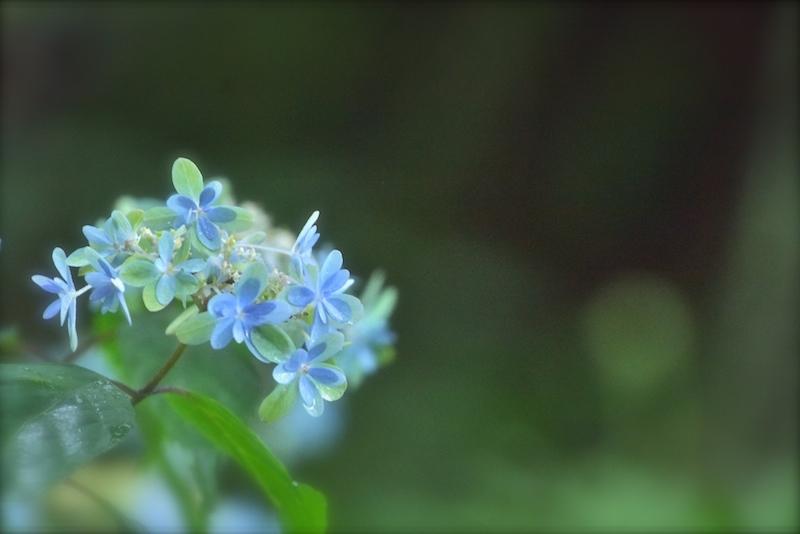 紫陽花の杜