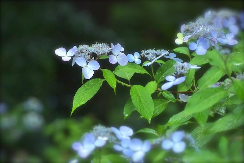雨の降る日は紫陽花日和