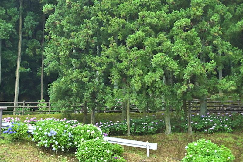 山奥の菖蒲園