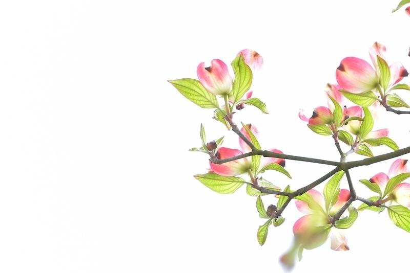 ハナミズキの花咲けば…
