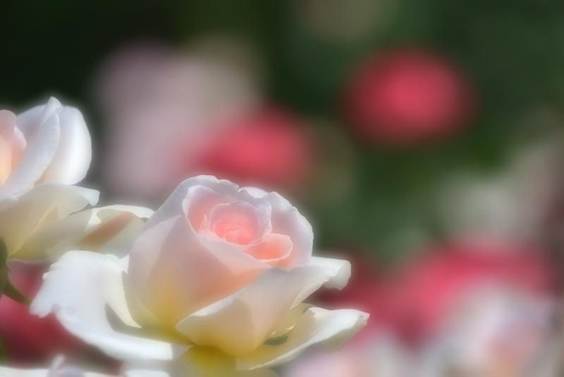 薔薇の薫りによせて