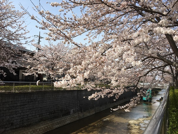 h29,5桜満開