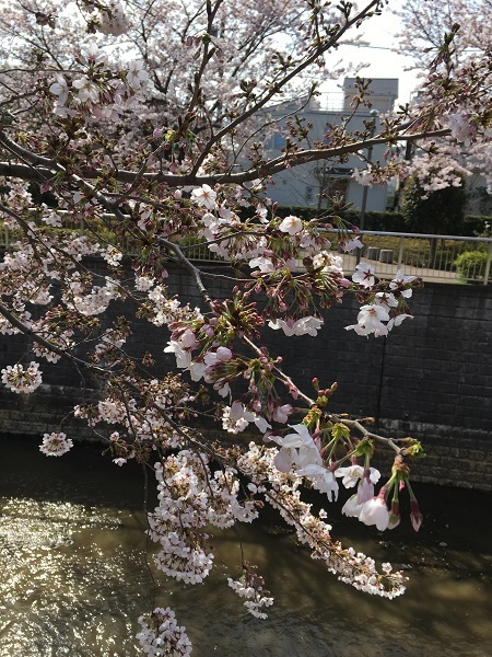 h29,5桜満開2
