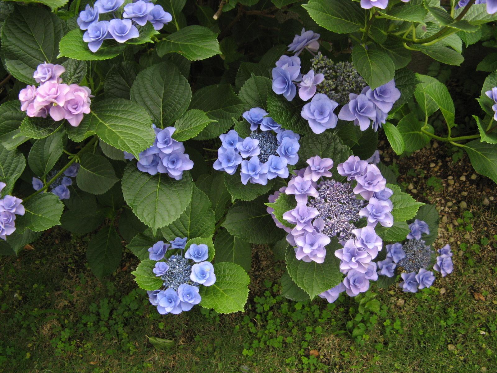 紫陽花フリー素材