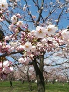 IMG_20170429本日の桜