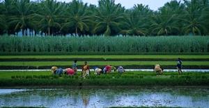 南インドの水田