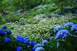 紫陽花の群落