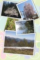 越後湯沢はサクラが満開でしたヨ。雪も残ってたし。