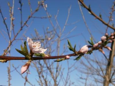 桃の花20170503