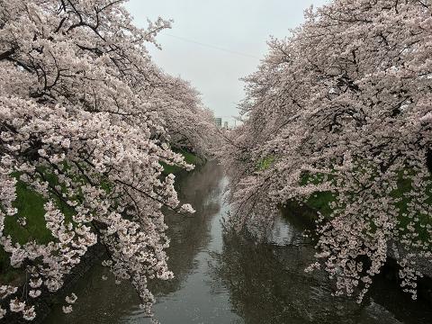 1157-五条川の桜