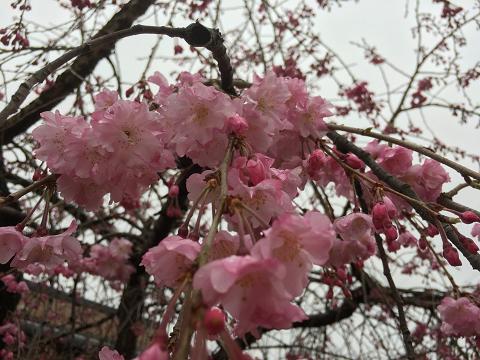 1158-ピンク色の桜