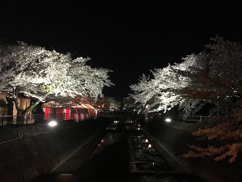 1161-大江川の夜桜