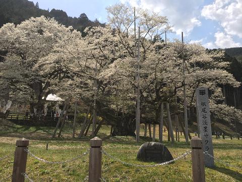 1166-淡墨桜(正面)