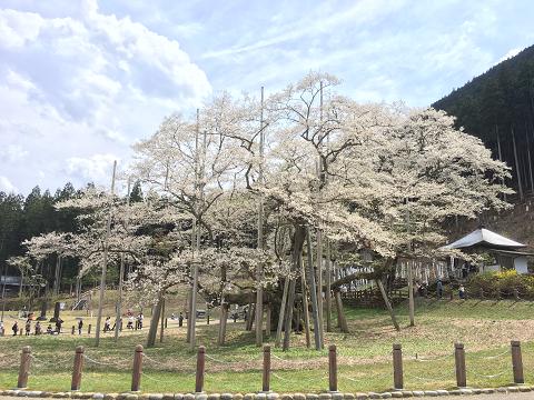 1167-淡墨桜(横)