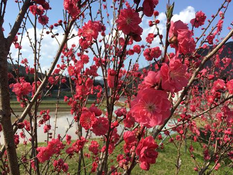 1171-沿道の花桃